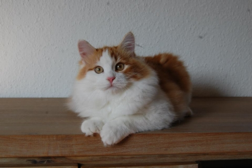 Johnny Siberian Cat Australia