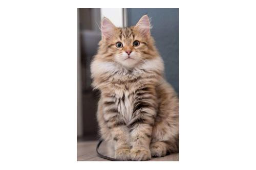 Siberian Kitten Belshazar Von Der Selenga