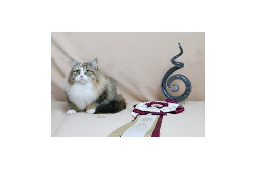 Miakoschka Fireworks Award winning Siberian Cat