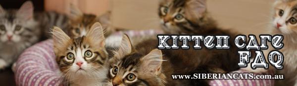 Siberian-Kitten-Care