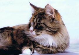 Miakoschka Katenka - Best in Show - Siberian Cat