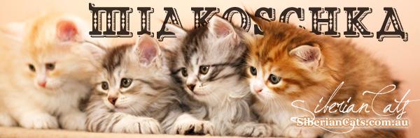 siberian-kittens-australia