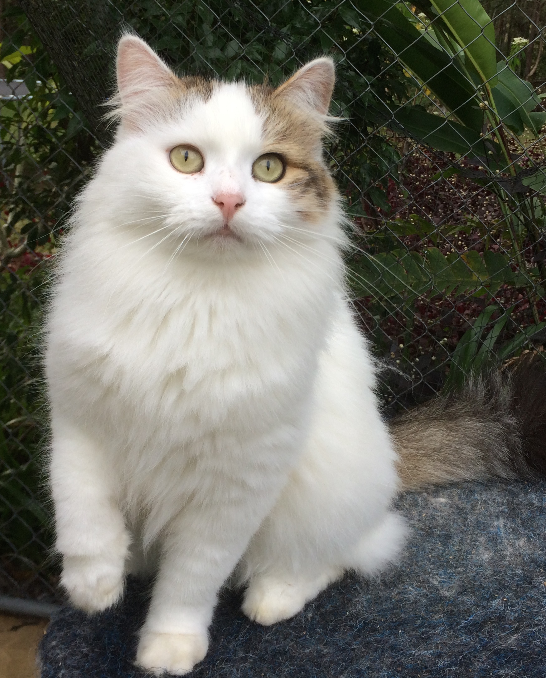 Cats For Adoption Siberian Cats