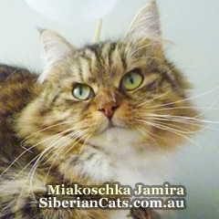 Siberian-Forest-Cat-Jamira-2