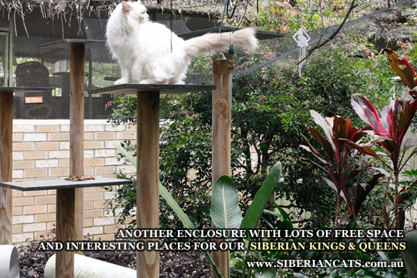 Siberian-Cats-Brisbane-Qld