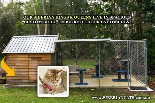 Siberian-Cattery-Cats-Brisbane