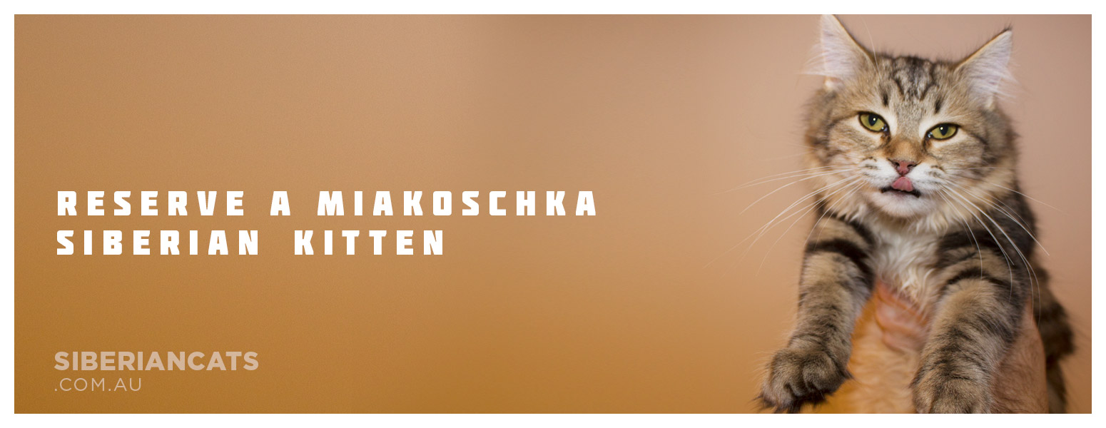 Miakoschka Siberian Kitten Breeder Australia